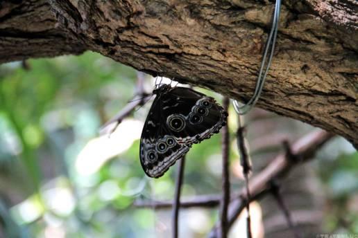 butterflies-in-belgium-travenluc-1