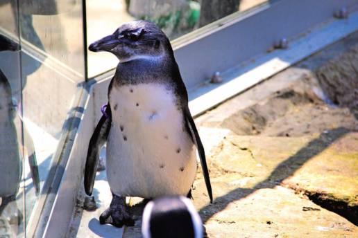 penguin-in-belgium-travenluc-2
