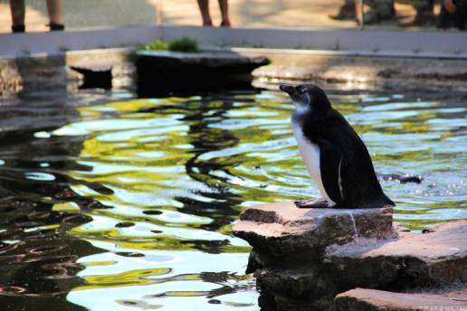 penguin-in-belgium-travenluc-3