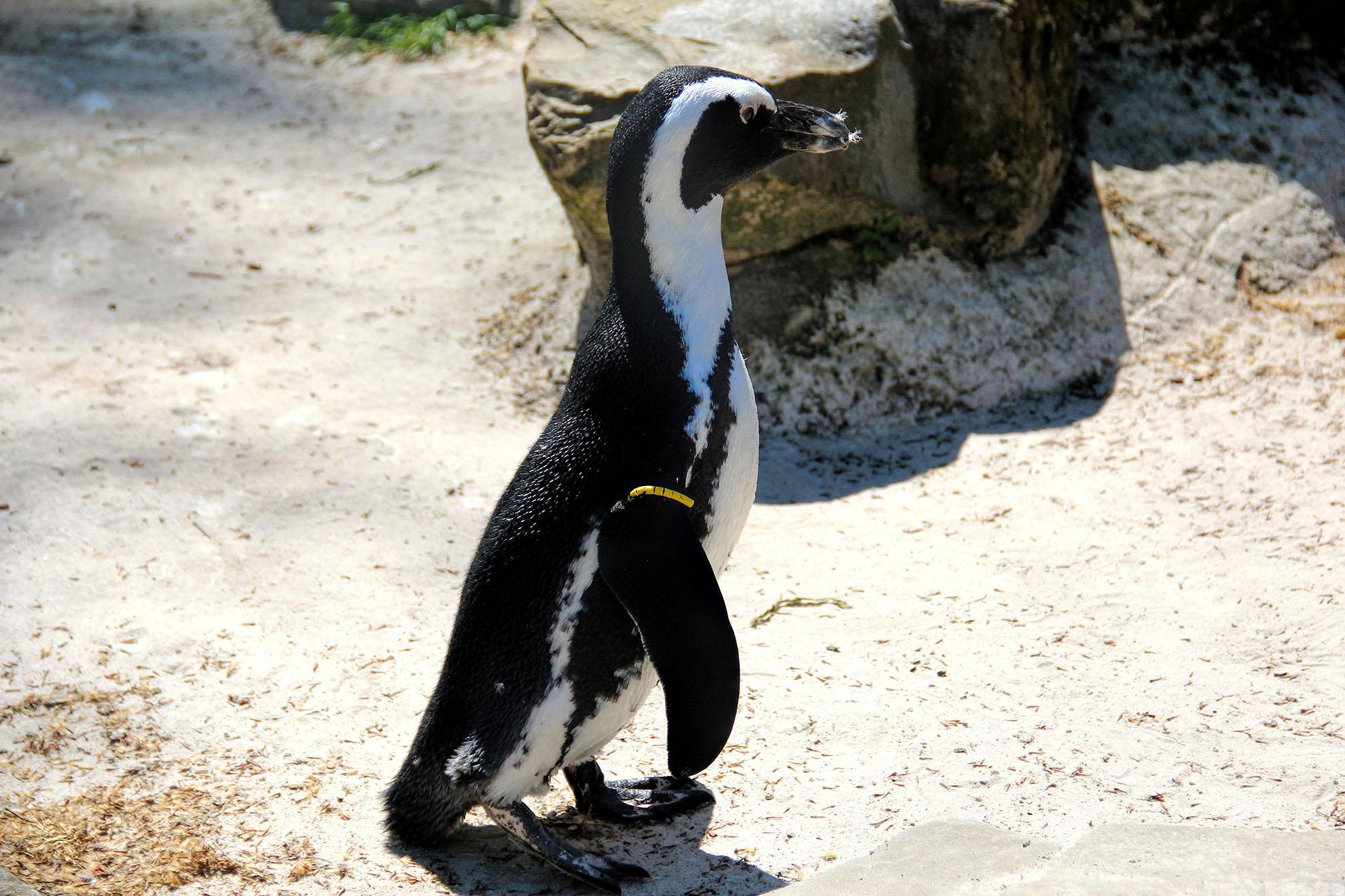penguin-in-belgium-travenluc-4