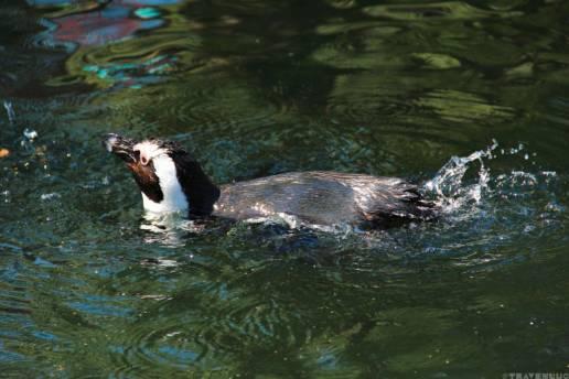 penguin-in-belgium-travenluc-8