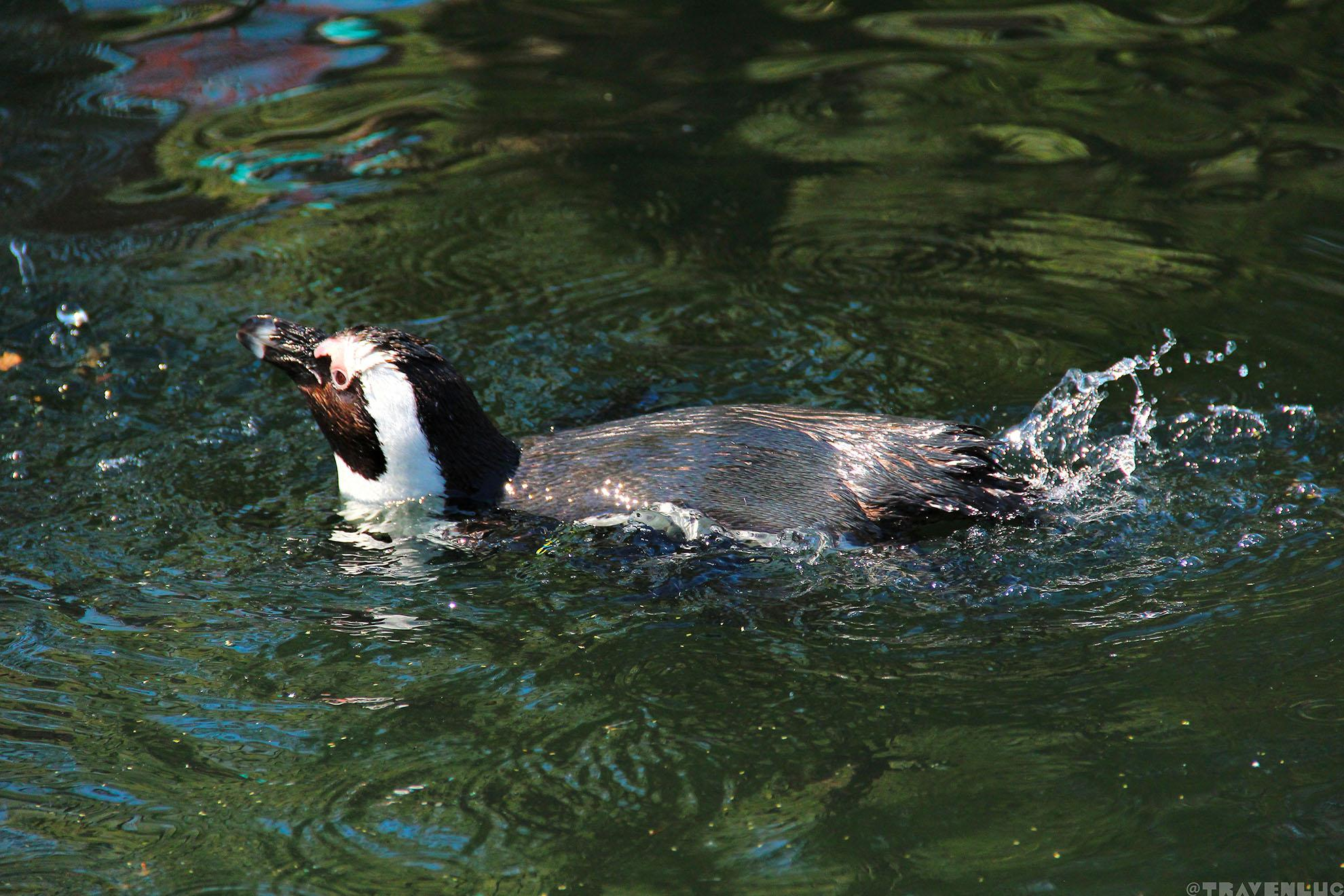 penguin-in-belgium-travenluc-8
