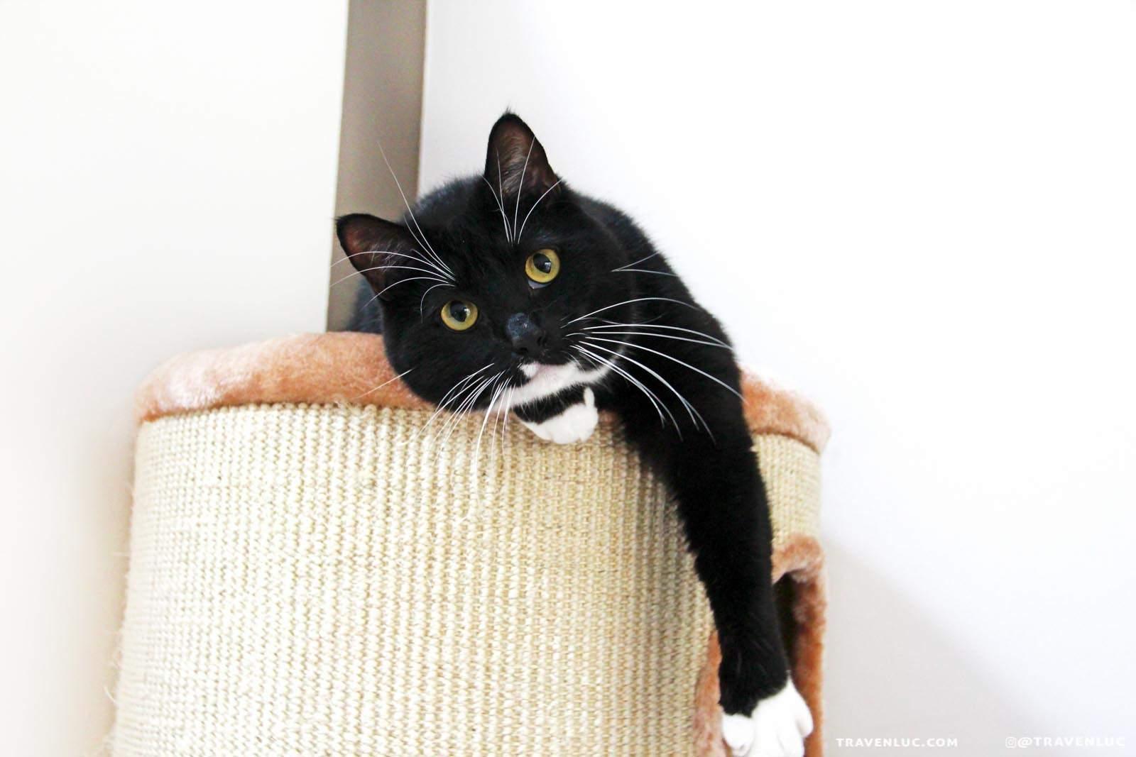 可愛燕尾服貓圖片 - TUXEDO CAT