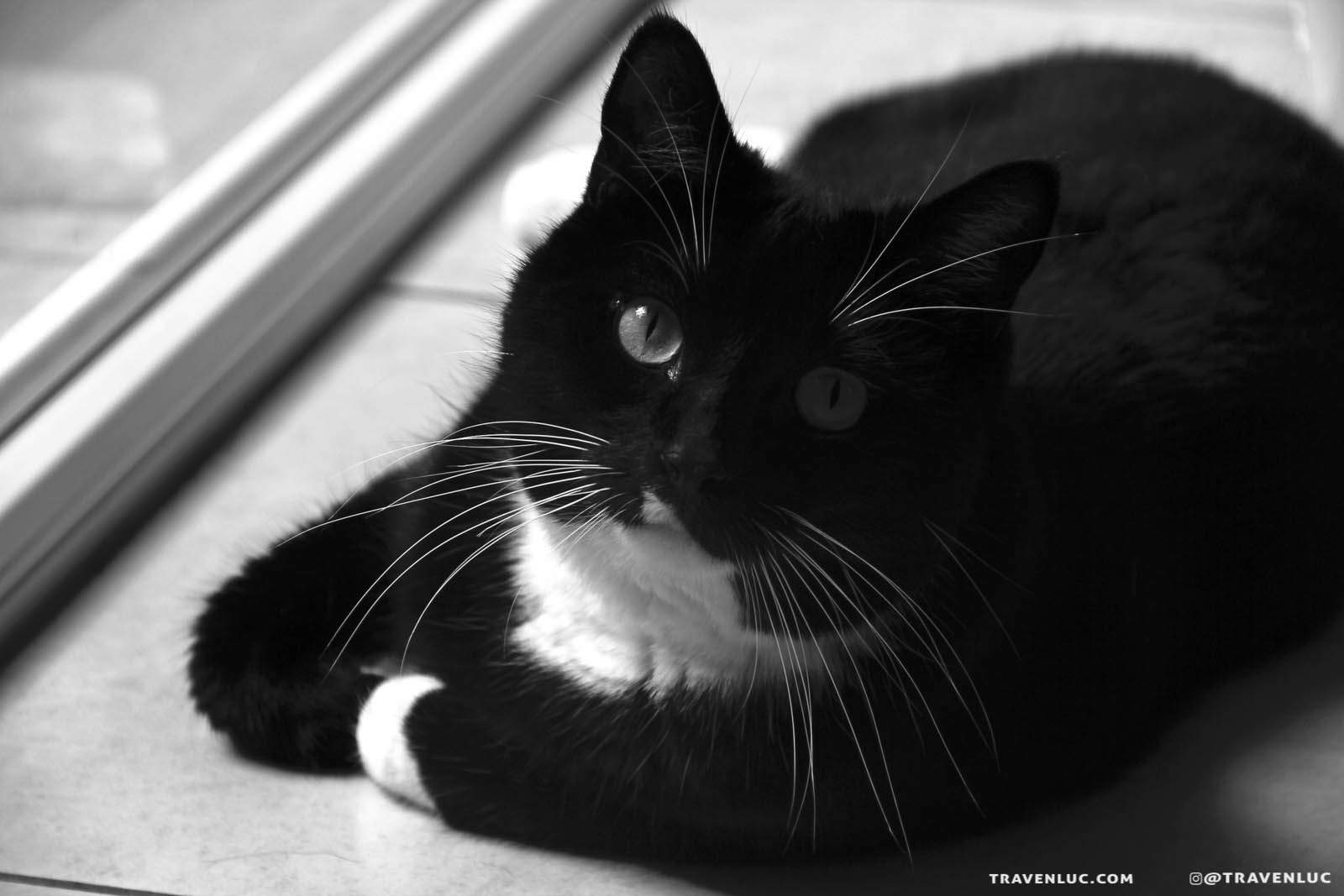 可愛禮服貓/燕尾服貓圖片 - TUXEDO CAT
