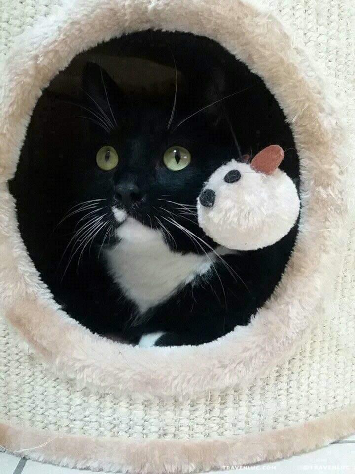 禮服貓/燕尾服貓圖片