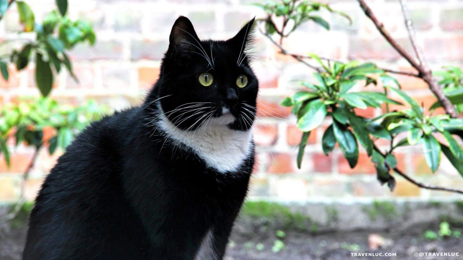 可愛燕尾服貓圖片